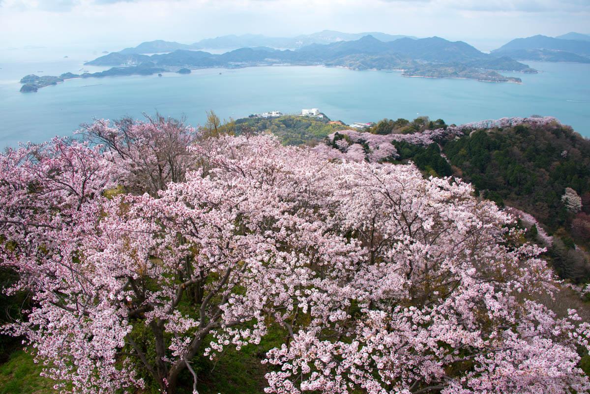 尾根沿いの登山道を埋め尽くす三千本の桜