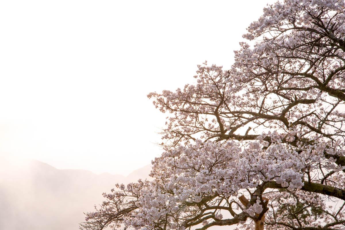 川井峠の桜