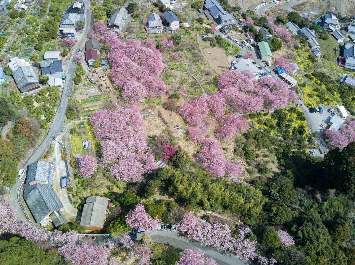 桑田山,雪割り桜