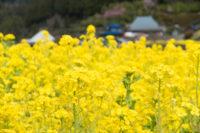 神山町江田地区の菜の花まつり