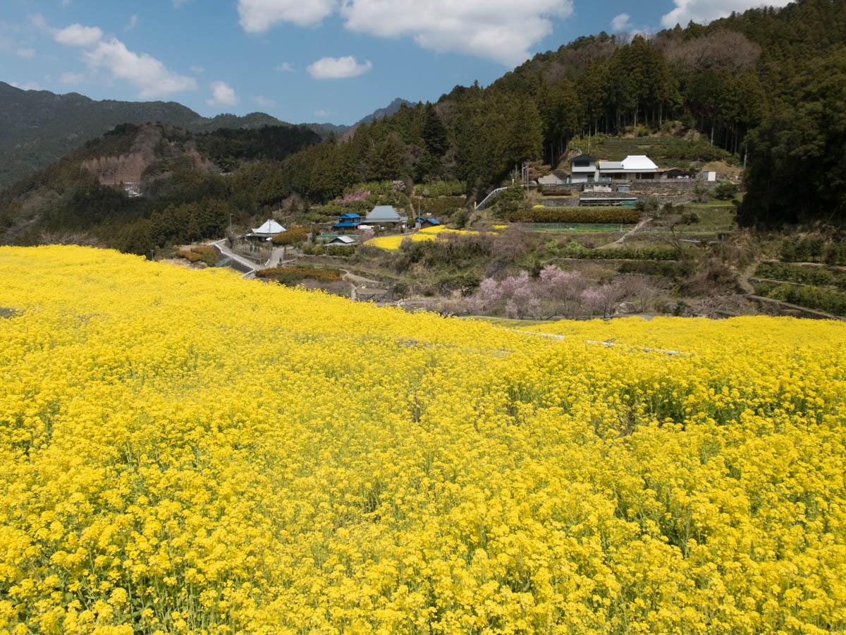 神山町江田地区の菜の花まつり1