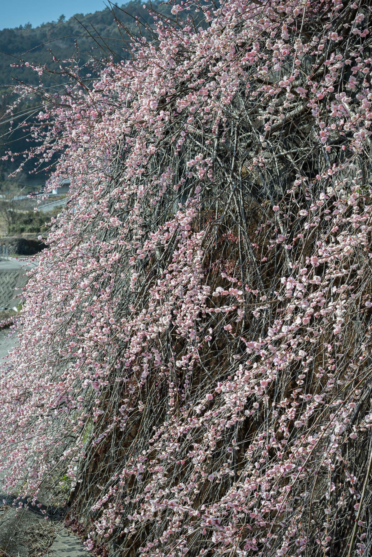 高知県香美市の梅