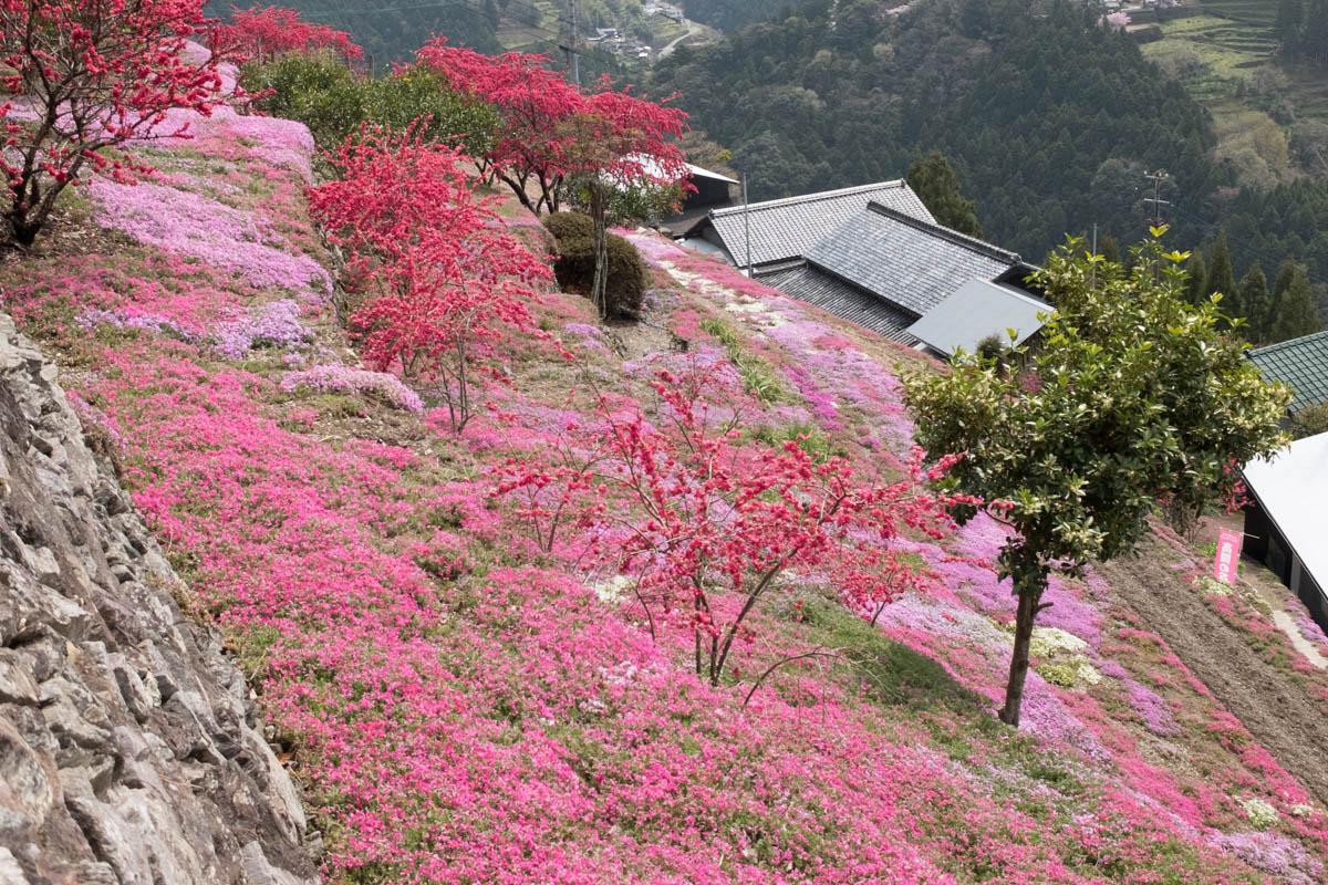 高開の石積みの芝桜
