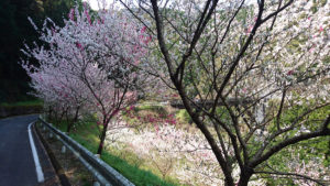 高知県仁淀川町の花桃