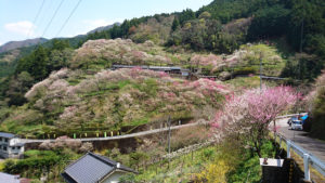 高知県上久喜の花桃