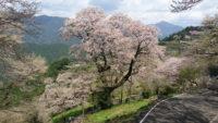 高知県仁淀川町のひょうたん桜