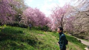 高知県仁淀川町の桜