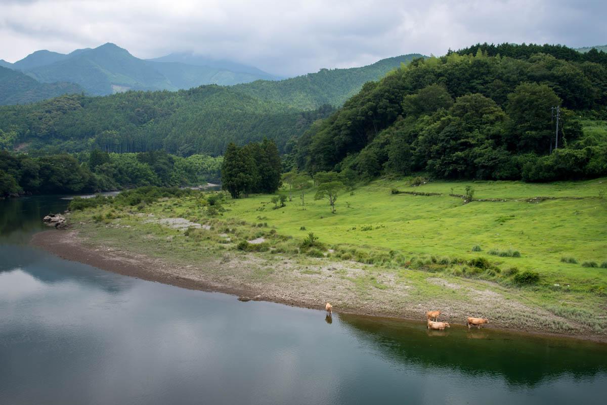吉野川河畔の土佐あかうし牧場
