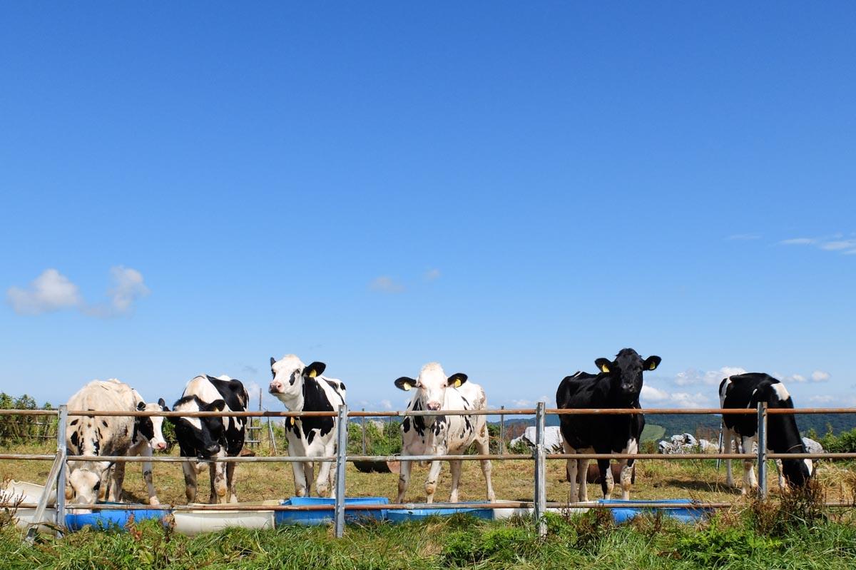四国カルストの牛