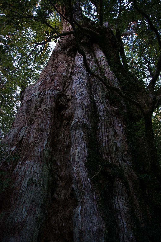 鹿児島県 - 屋久島 - 縄文杉