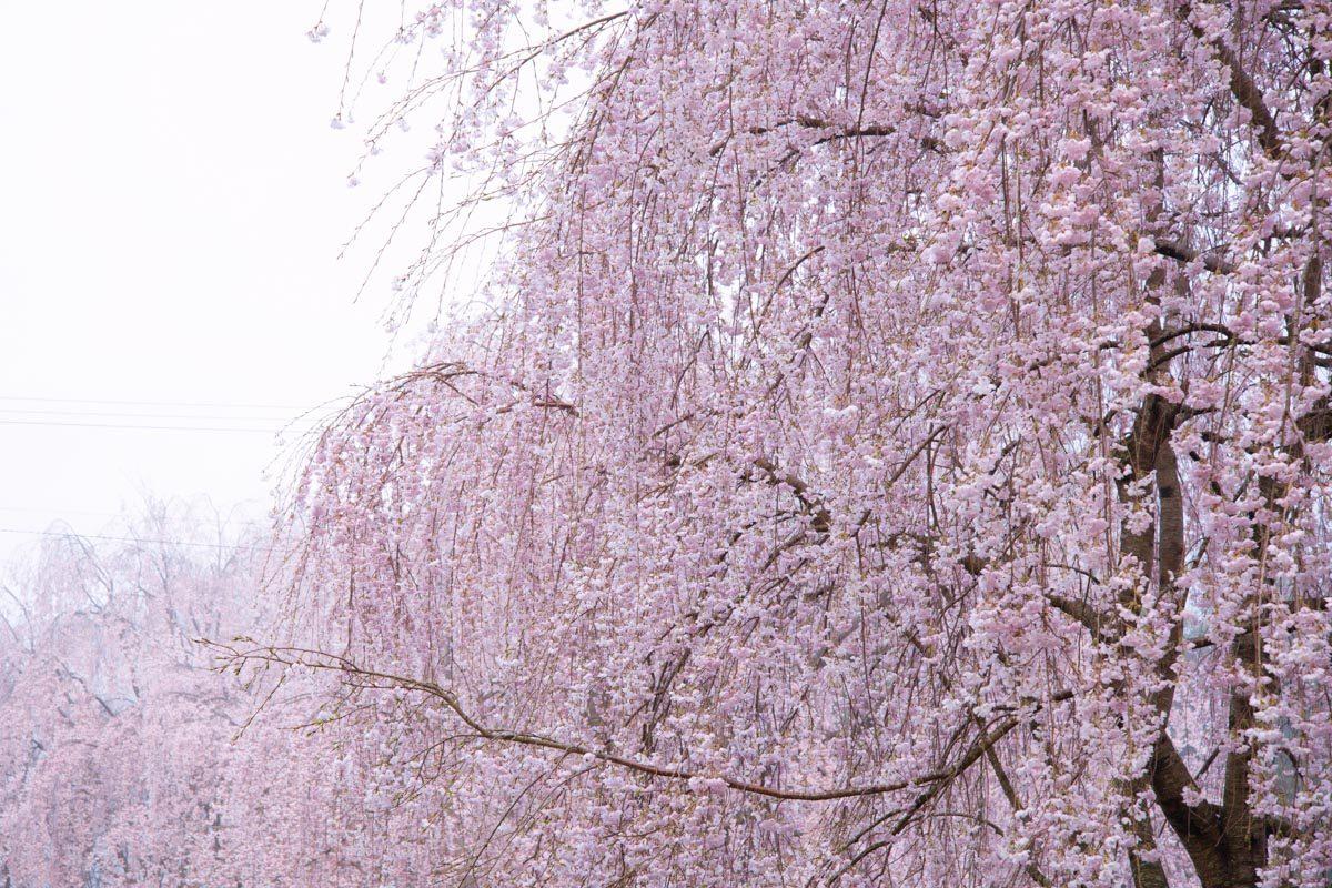 三木家住宅,しだれ桜