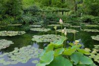 モネの庭の睡蓮