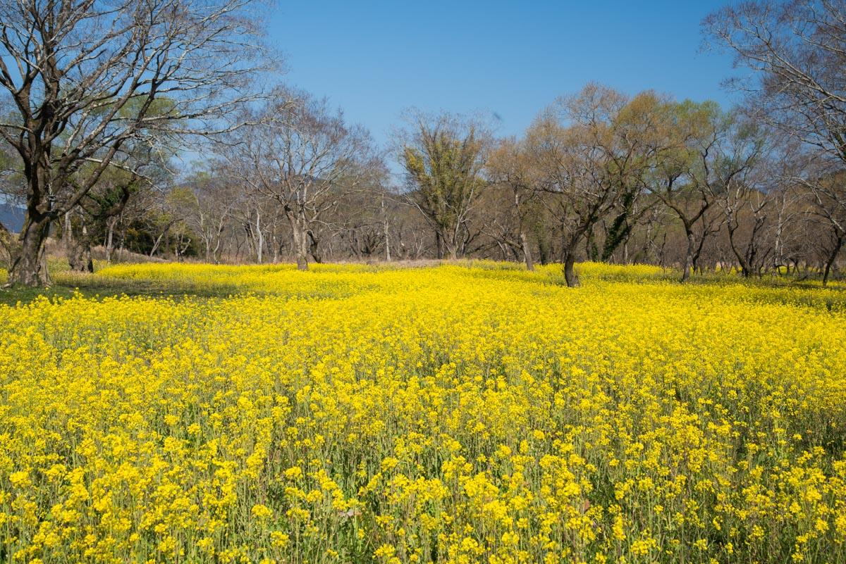 入田ヤナギ林,菜の花