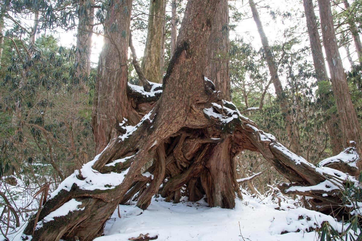 白髪山の根下がり檜