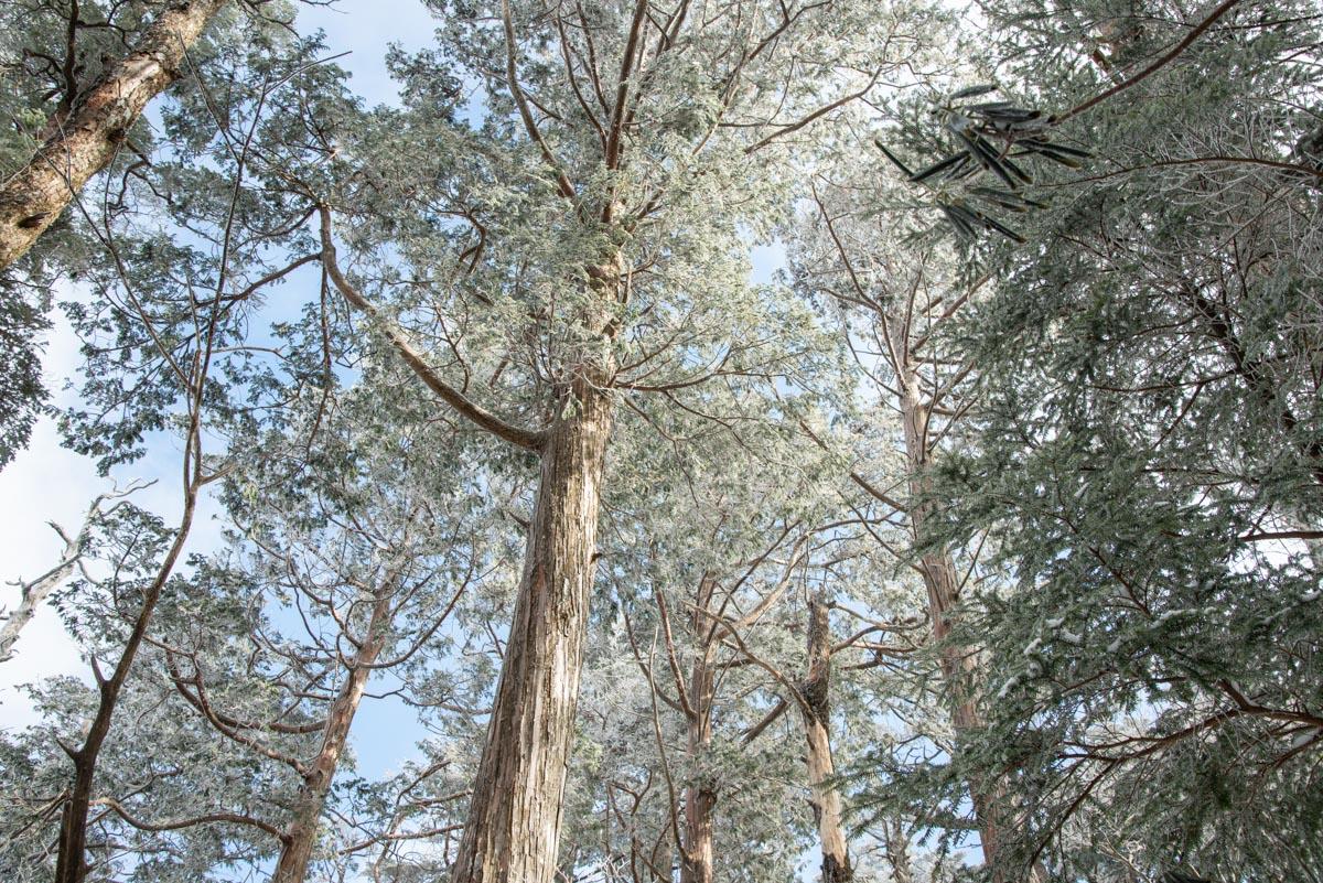 白髪山の檜原生林